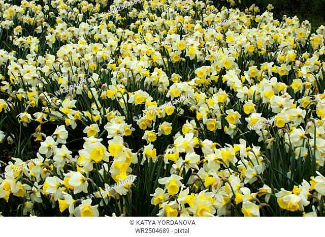 A field of daffodil flowers in springtime