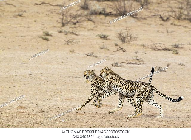 Cheetah (Acinonyx jubatus). Two playful subadult males in the dry and barren Auob riverbed. During a severe drouight. Kalahari Desert