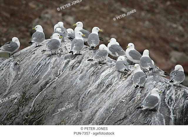 Flock of black-legged kittiwakes Risa tridactyla resting on a rock off the coast of Spitsbergen