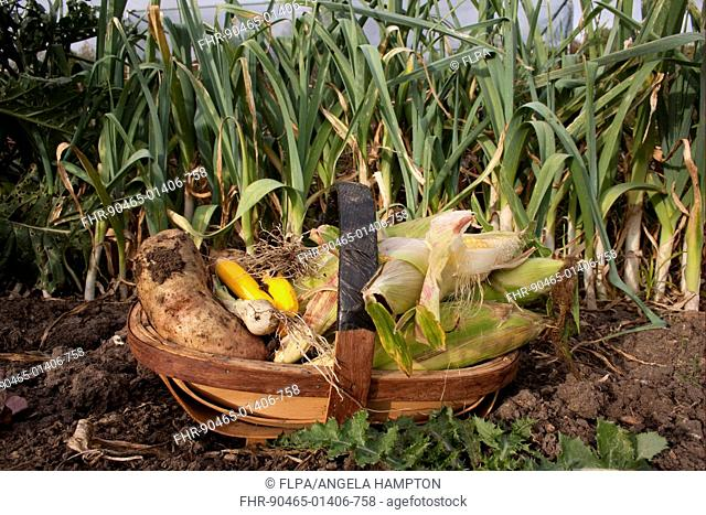 Trug filled with homegrown vegetables, including maize and potatoes, England, october