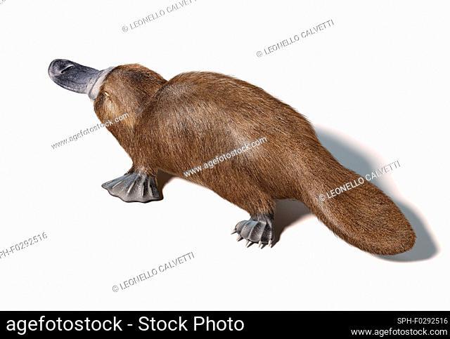 Platypus, illustration