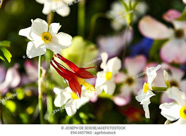 A red columbine flower with daffodils in the background
