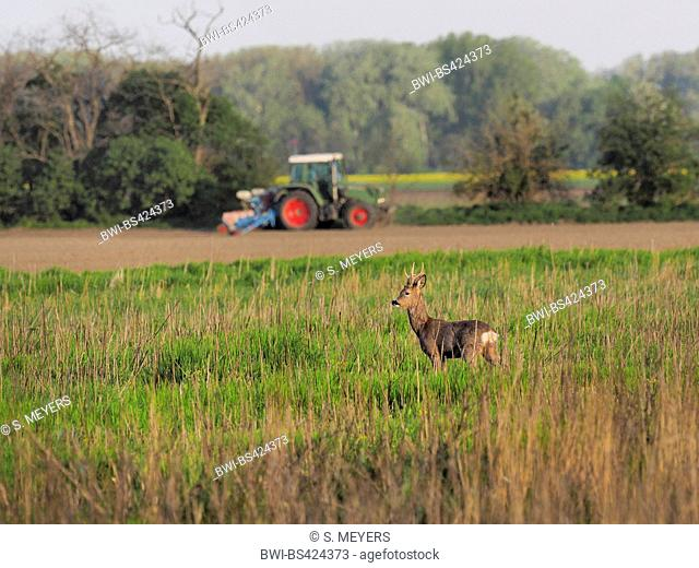 roe deer (Capreolus capreolus), buck secures in a fallow in spring with a tractor in the background, Austria, Burgenland