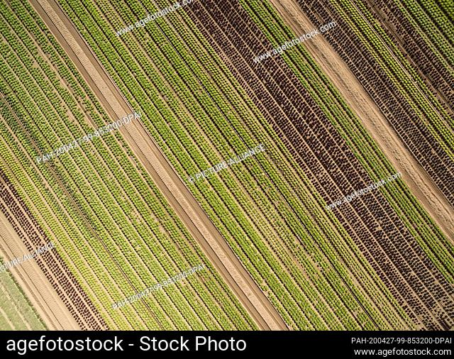 27 April 2020, Hessen, Weiterstadt: Lettuce grows in a field near Weiterstadt (aerial view with a drone). Due to the entry restrictions due to the Corona...