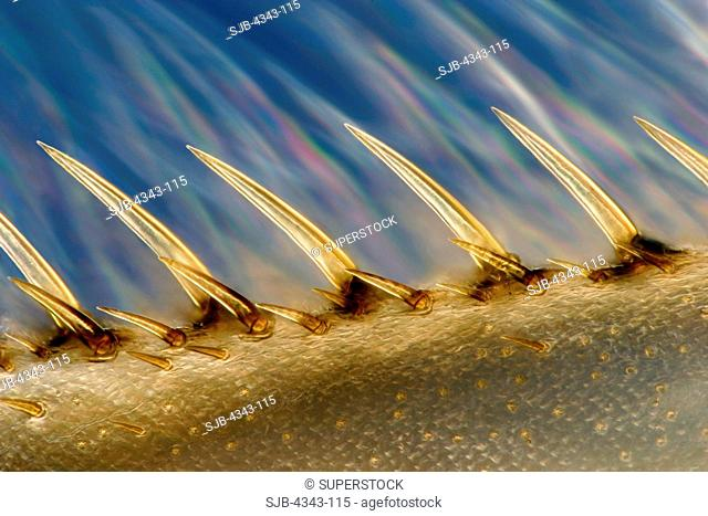 Water Boatman Leg on Colored Background