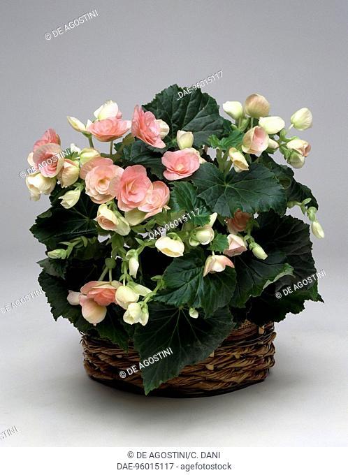 Begonia (Begonia elatior), Begoniaceae