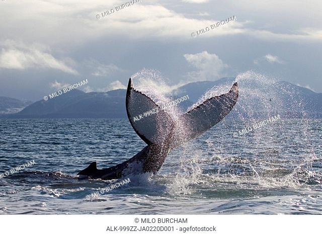 Humpback whale tail slapping surface of Prince William Sound, Southcentral Alaska, Spring