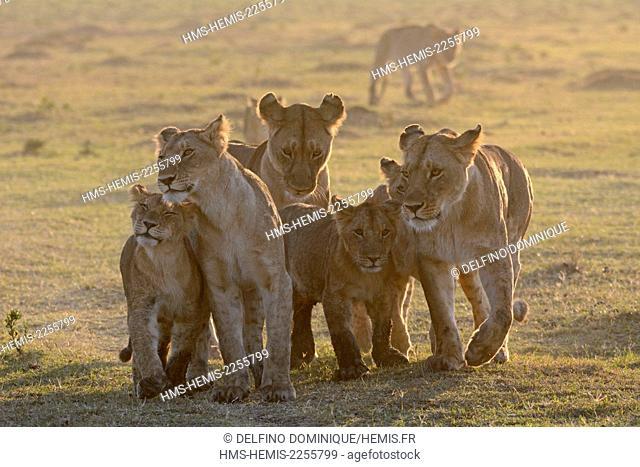 Kenya, Masai Mara Reserve, Family Lions (Panthera leo) Lioness with young déplcaçant at sunrise