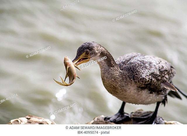 Long-tailed Cormorant (Microcarbo africanus) with captured small catfish, Djoudj National Park, Senegal