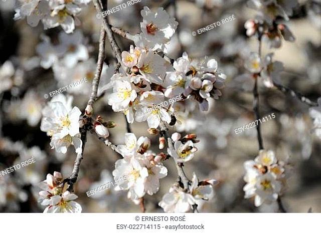 Mandelbllüte in Spanien