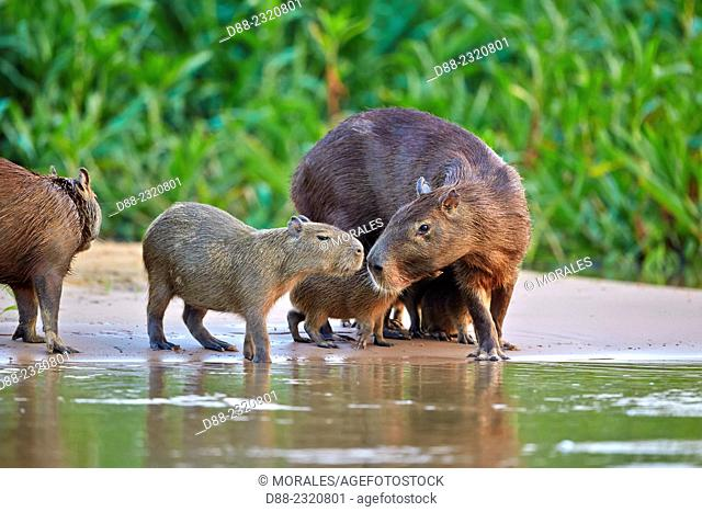 South America,Brazil,Mato Grosso,Pantanal area,the capybara (Hydrochaeris hydrochaeris) is the largest rodent in the world,family