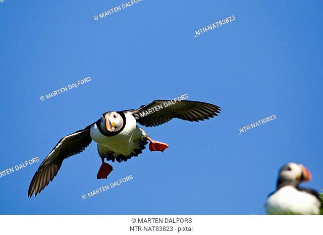 A flying puffin, Norway