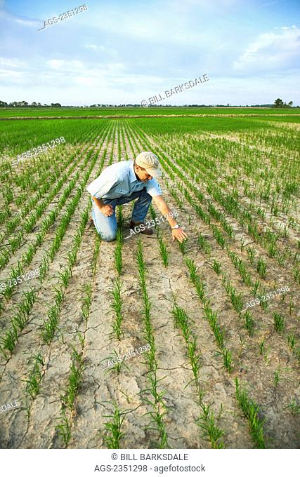 Agriculture - A crop consultant kneeling down in a field inspecting the progress of an early growth rice crop / Arkansas, USA