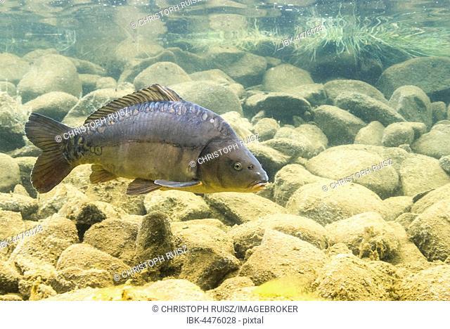 Mirror carp (Cyprinus carpio) in shallow water above stones, mountain lake, Styria, Austria