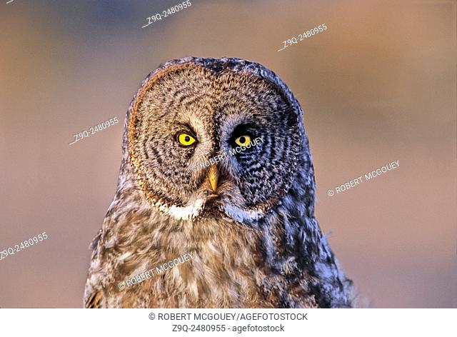Close up portrait of a Great Grey Owl 'Strix nebulosa'; sitting perched in the warm evening light in rural Alberta, Canada