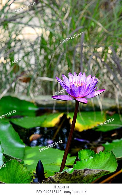 Blooming Blue and Violet Nymphaea Lotus with Blurred Background