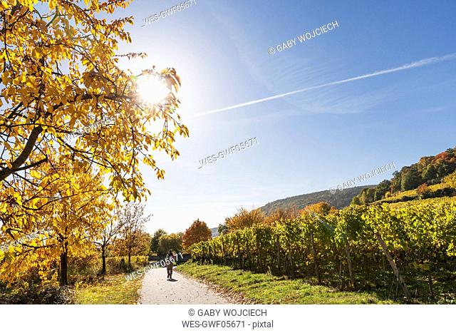 Germany, Rhineland Palatinate, Pfalz, hiker on wine-route-hiking-trail, vineyards and cherry trees in autumn colours