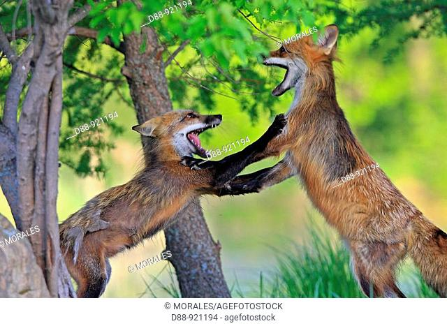 Red Fox (Vulpes vulpes), adults fighting