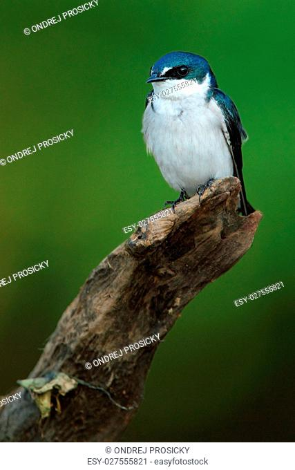 Mangrove Swallow, Tachycineta albilinea, bird from tropic river