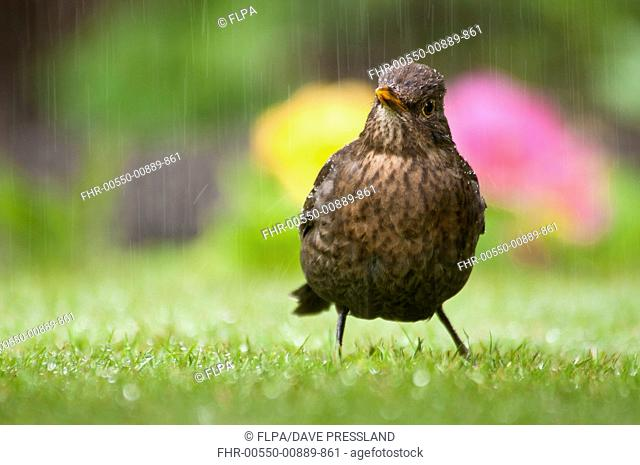 European Blackbird Turdus merula adult female, foraging on garden lawn during rainfall, Belvedere, Bexley, Kent, England, may