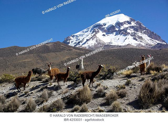 Herd of llamas (Lama glama) in front of Sajama Volcano, Sajama National Park, Oruro, border between Bolivia and Chile