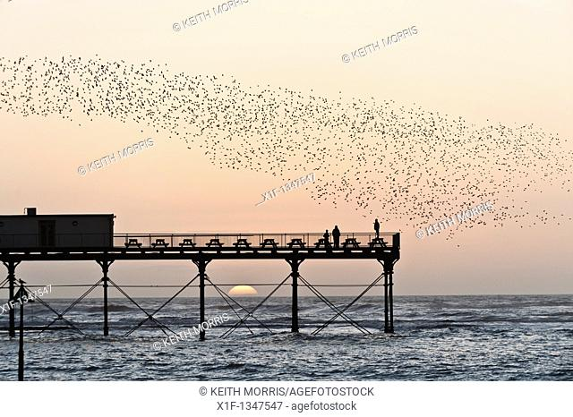 A flock of starlings roosting on Aberystwyth pier at sunset, west wales UK