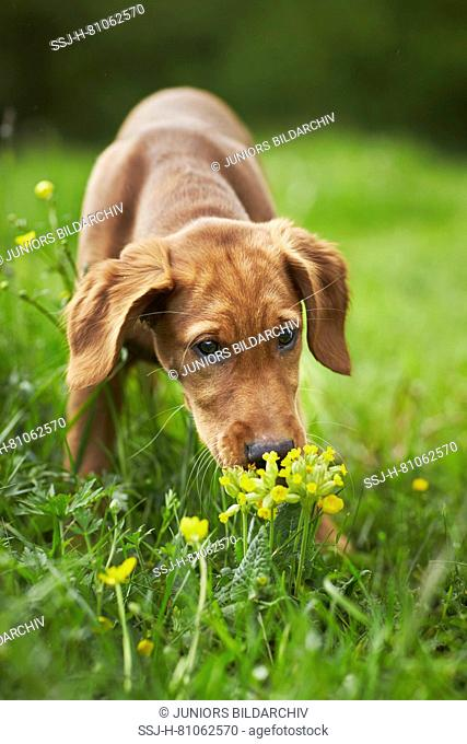 Golden Retriever. Puppy sniffing on Cowslip. Germany