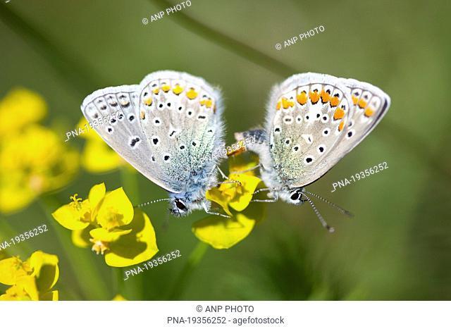 Common Blue Polyommatus icarus - Roºbach Witzenhausen, Werra-Meiºner, Hesse, Hessen, Germany, Europe