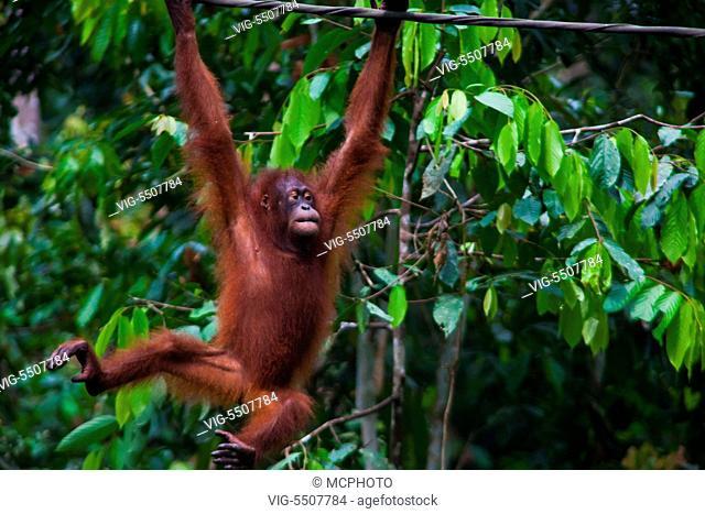 An orangutan (Pongo pygmaeus) at the Sepilok Orangutan Rehabilitation Center in the Kabili Sepilok Forest near Sandakan - MALAYSIA, BORNEO - USA, 03/04/2014
