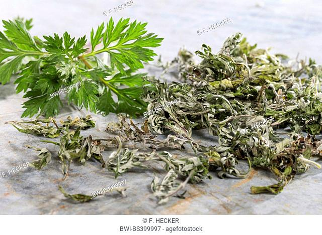 common mugwort, common wormwood (Artemisia vulgaris), fresh and dried leaves, Germany