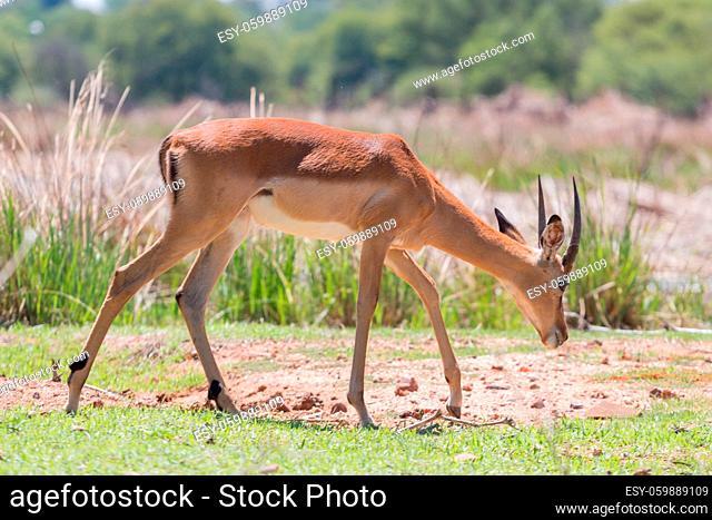 Impala at the Mokolodi Nature Reserve in Botswana