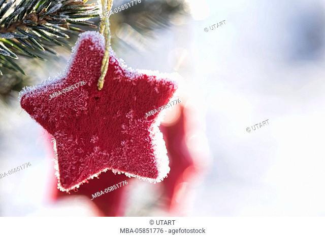 Wintry scene, red Feltstar in a fir branch, back light