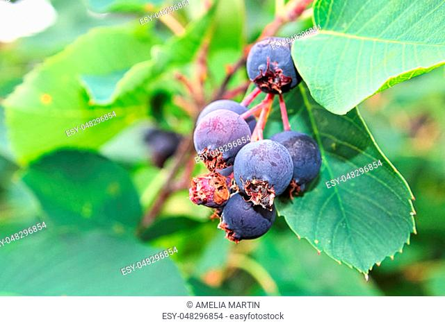 A closeup view of ripe saskatoon berries
