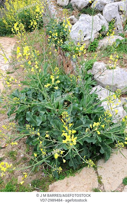 Mustard (Brassica cretica) is native to Greece, Lebanon and Turkey