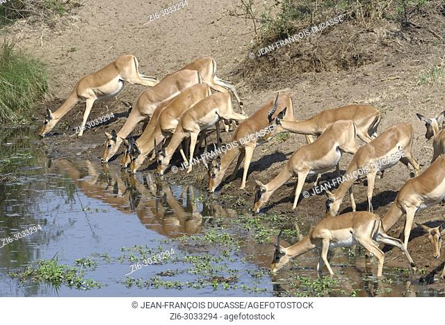 Herd of impalas (Aepyceros melampus) drinking at a waterhole, Kruger National Park, South Africa, Africa
