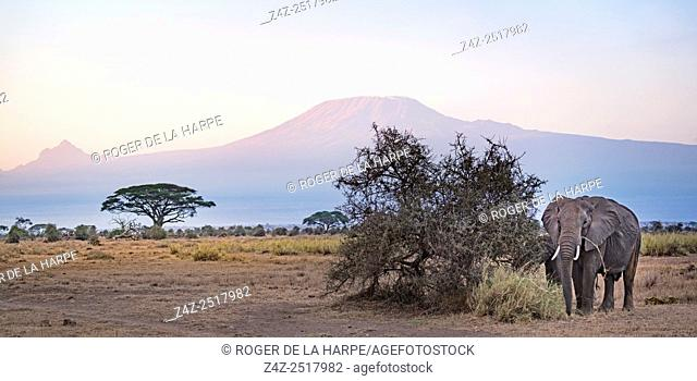 African bush elephant (Loxodonta africana) with Mount (Mt) Kilimanjaro and Mount (MT) Mawenzi (in Tanzania) on the left in the background