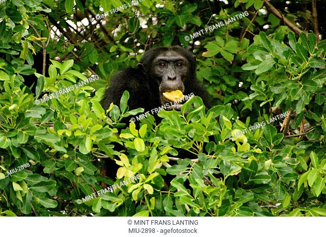 Chimpanzee, Pan Troglodytes verus in Senegal