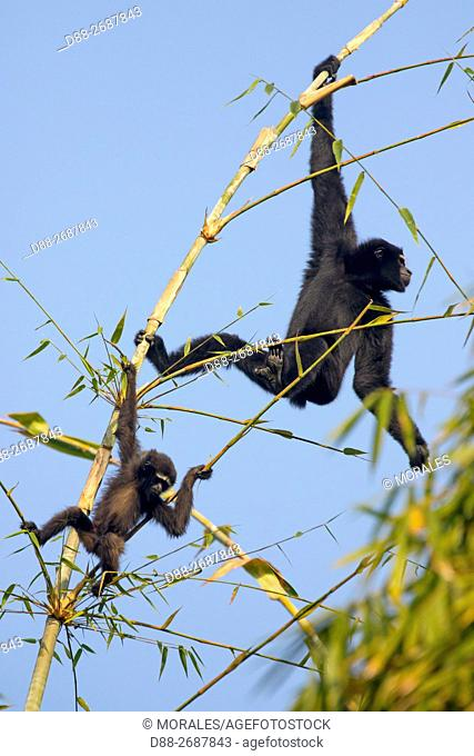 South east Asia, India,Tripura state,Gumti wildlife sanctuary,Western hoolock gibbon (Hoolock hoolock),adult male and a baby