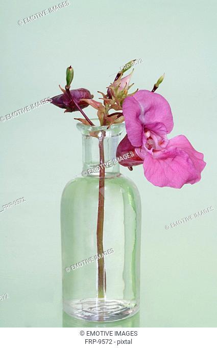 Bach flower Himalayan Balsam Impatiens glandulifera