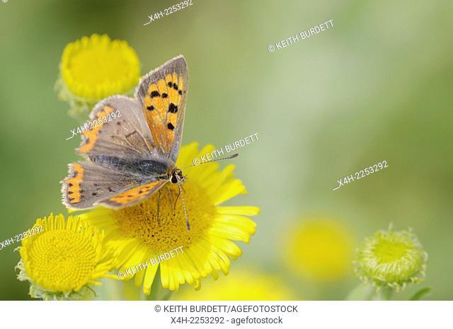 Lycaena phlaeas, Small Copper Butterfly feeding on Fleabane flower, Wales, UK