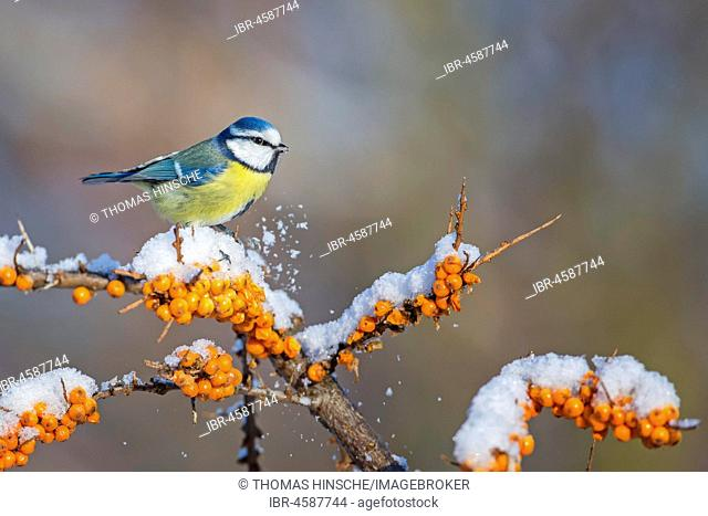 Blue tit (Blue tit) on branch with snow, Common sea-buckthorn (Hippophae rhamnoides), winter, frost, Central Elbe Biosphere Reserve, Saxony-Anhalt, Germany