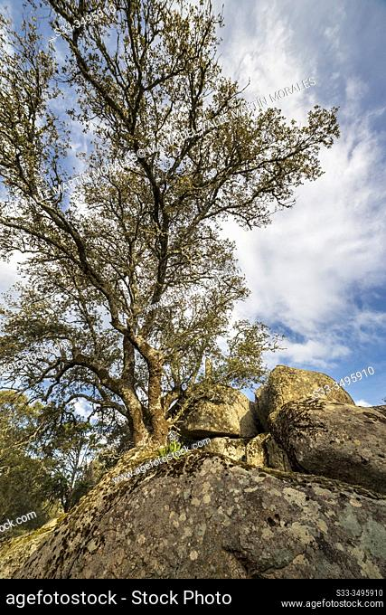 Holm oak and granite rocks in Pelahustan. Toledo. Spain. Europe