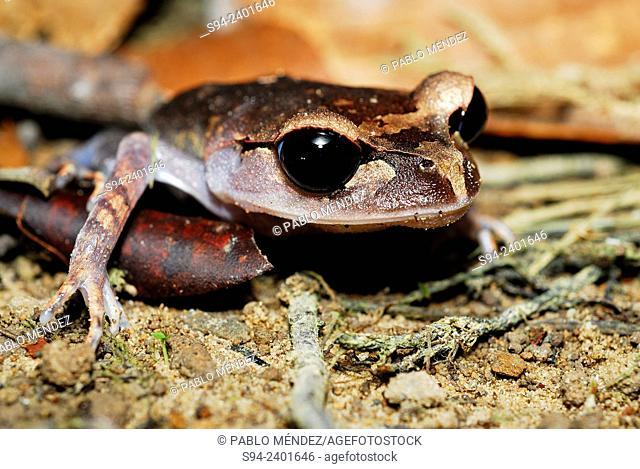Lowland little Frog (Leptobrachium abbotti) on ground in Kubah national park, Sarawak, Malaysia, Borneo
