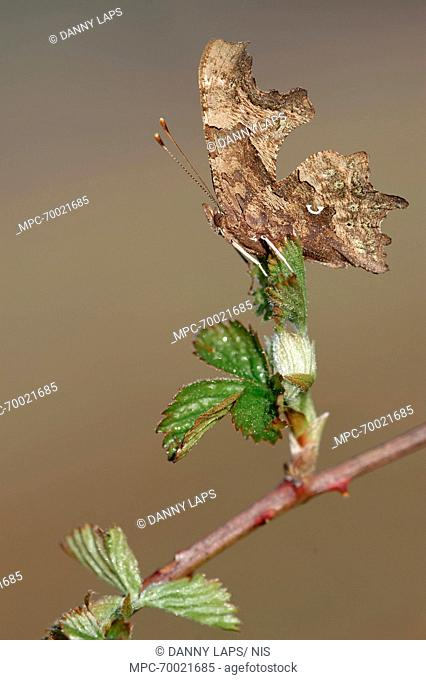 Comma (Polygonia c-album) on Shrubby Blackberry (Rubus fruticosus), Antwerp, Flanders, Belgium