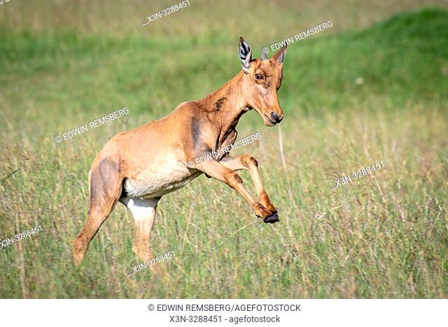 A young Topi (Damaliscus lunatus jimela) subspecies of the common tsessebe run through a field in Maasai Mara National Reserve, Kenya
