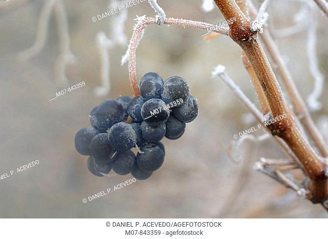 Tempranillo grape, Rioja wine region, Spain