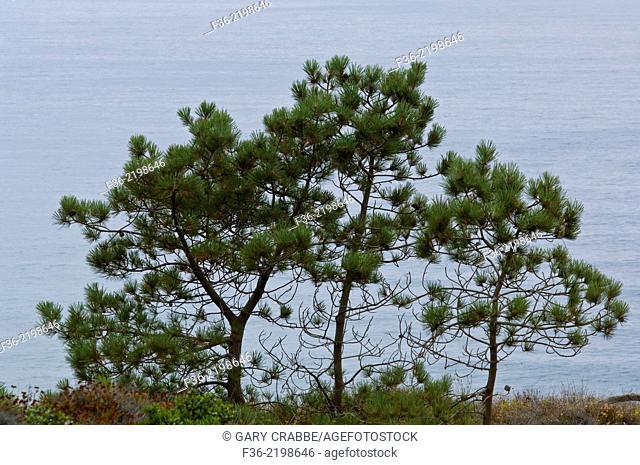 Torrey Pine Trees, (Pinus torreyana) at Torrey Pines State Reserve, San Diego, California