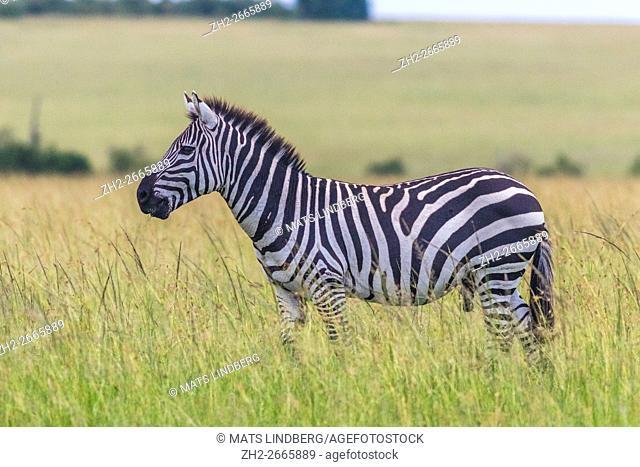 Zebra standing in profile on the savanna in Masai mara, Kenya, Africa