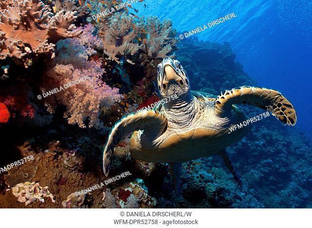 Hawksbill Sea Turtle, Eretmochelys imbricata, St. Johns Reef, Red Sea, Egypt