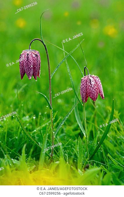 Fritillary Flowers Fritillaria melegris and dandelions north meadow Cricklade Wilts